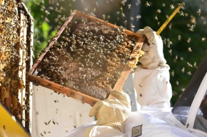 Emergency from inside the world of the Maltese honey bee